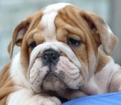 Vanzari bulldog englez arad for Bouledogue inglese