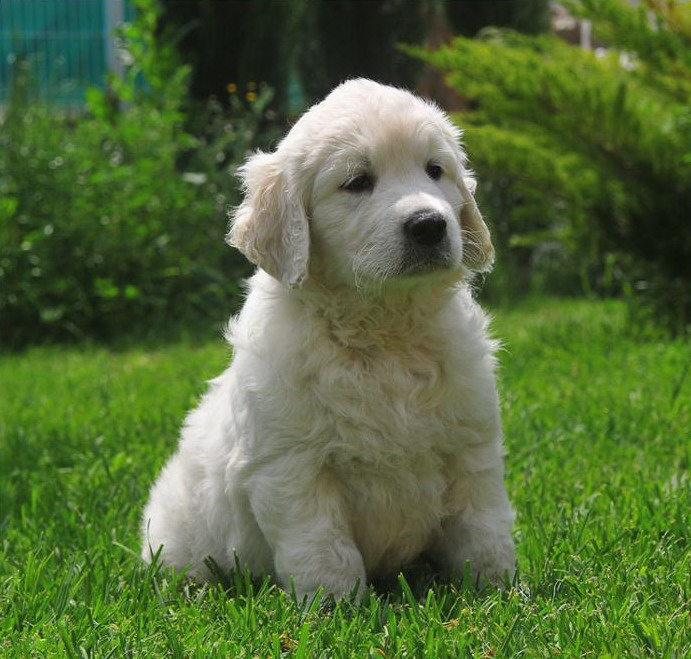 Golden retriever de cumparat